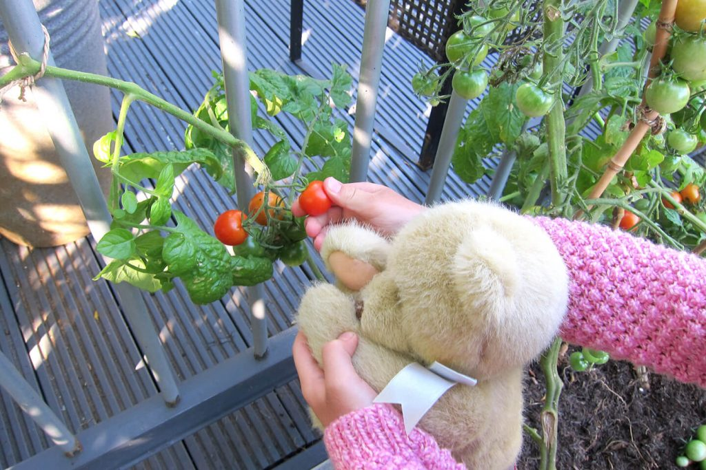 Picking tomatoes with teddy.