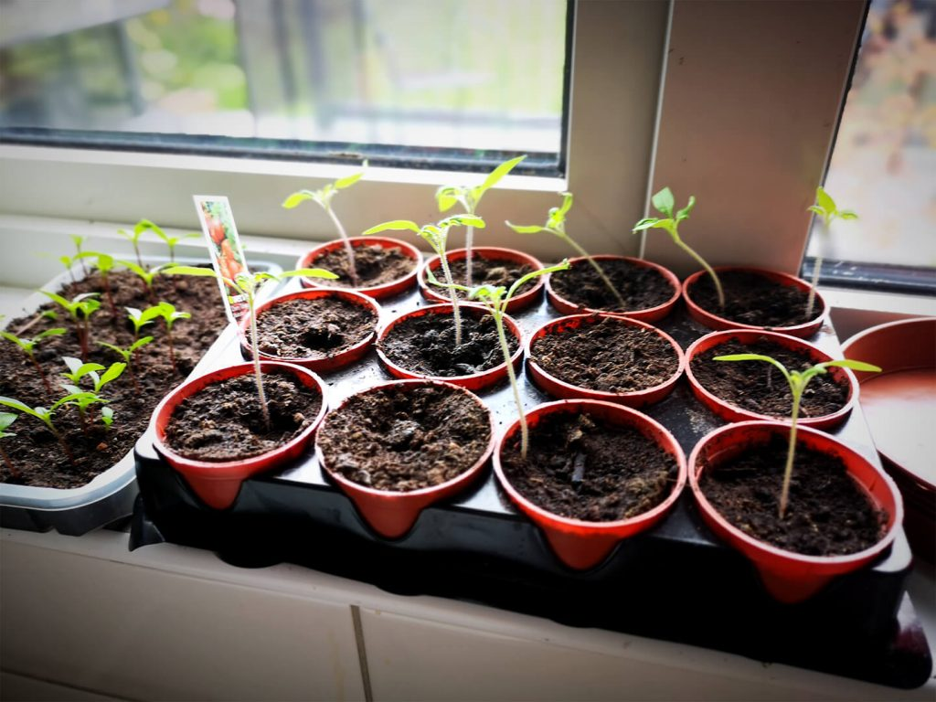 Gardening - seedlings on the windowsill.
