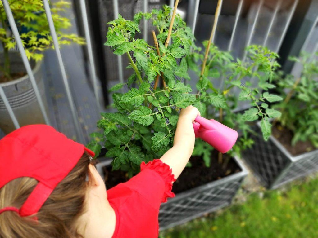 Watering tomato plants.